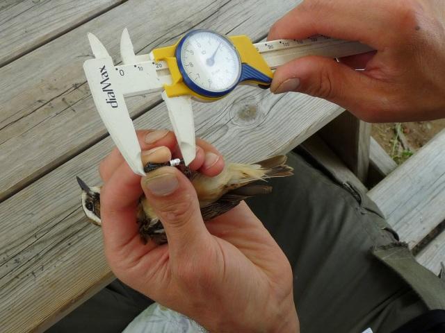 Misura del tarso di un maschio di Stiaccino - Saxicola rubetra
