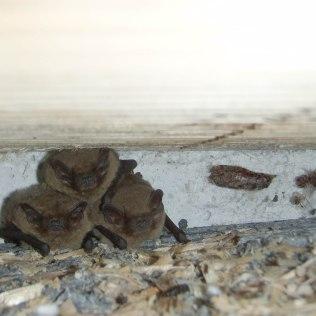 Pipistrellus pygmaeus @Felice Farina