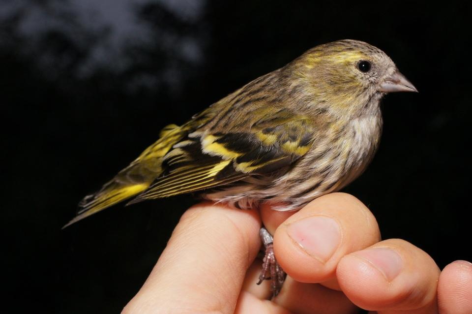 Femmina di Lucherino. Questa specie è stata catturata per la prima volta, nella Stazione Ornitologica, nell'autunno 2015 (Foto di P. Bonazzi)